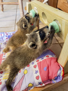 Baby raccoons drinking from baby bottles