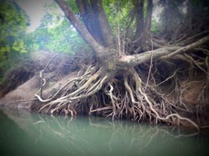 uprooted tree on bank of river